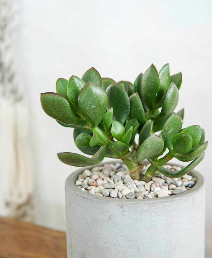 Crassula ovata, Cement Planter, Melbourne Plant Gifts, Pulp Kaktus