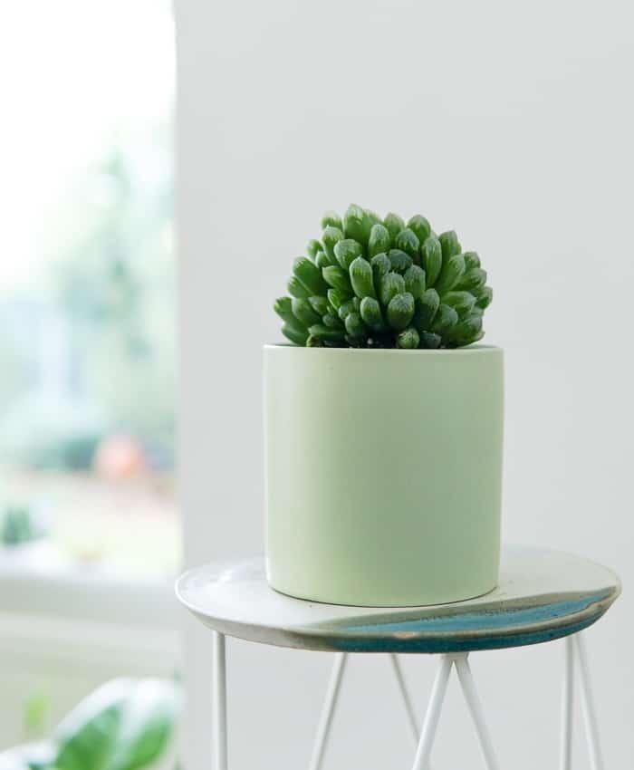 Haworthia cooperi, Window Haworthia, Shade Plant, Pulp Kaktus