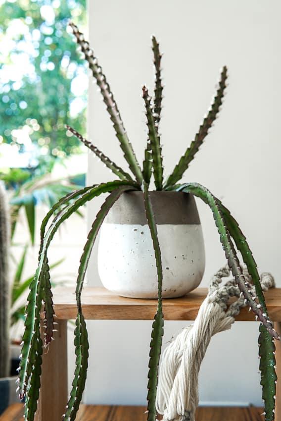Lepismium_cruciforme, Jungle Cactus, Plant Gifts, Trailing Plants, Pulp Kaktus