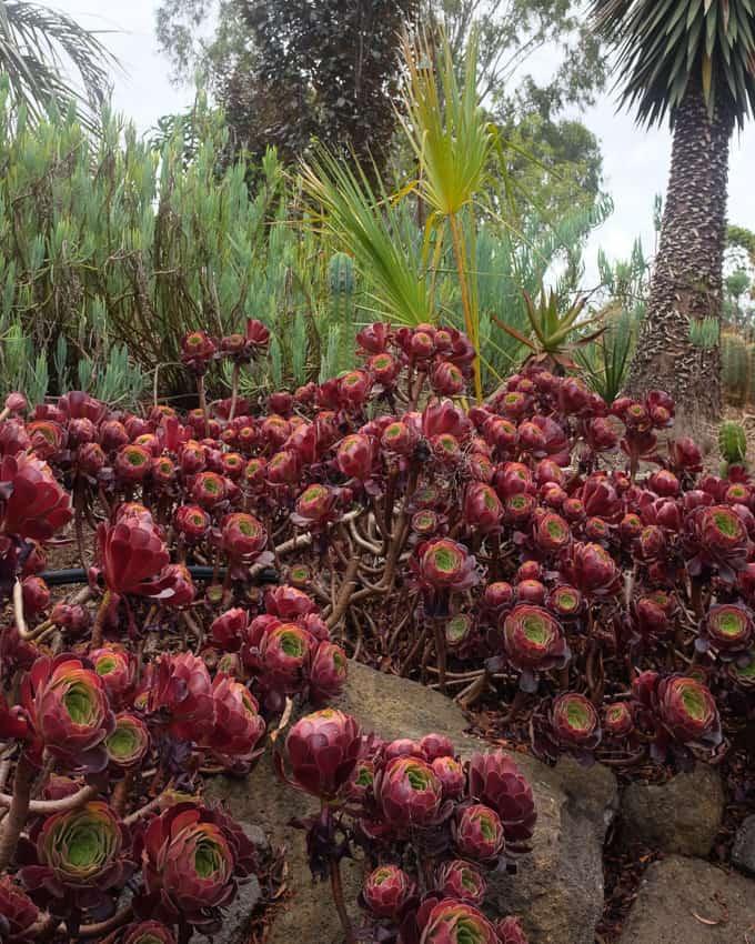 Aeoniums, Stressing Succulents, Pulp Kaktus