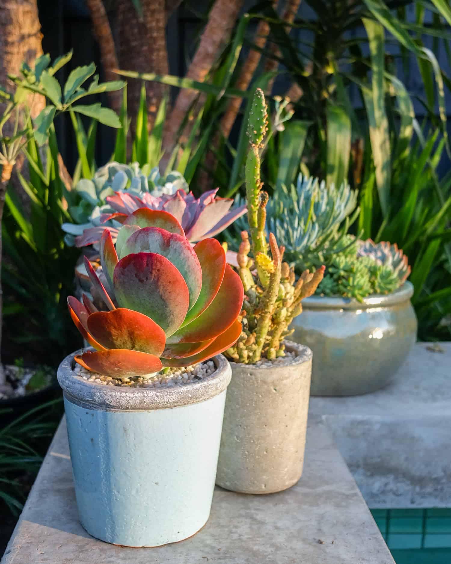 Kalanchoe Luciae, Flap Jack Plant, Aeoniums, Stressing Succulents, Pulp Kaktus