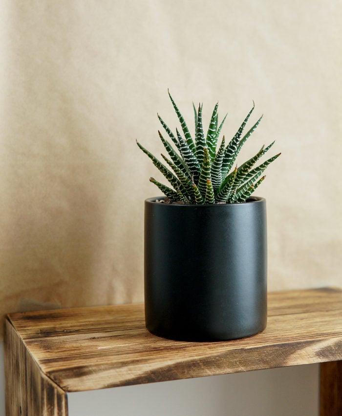 Haworthia, Zebra Plant, Pulp Kaktus, Plant Gifts Melbourne
