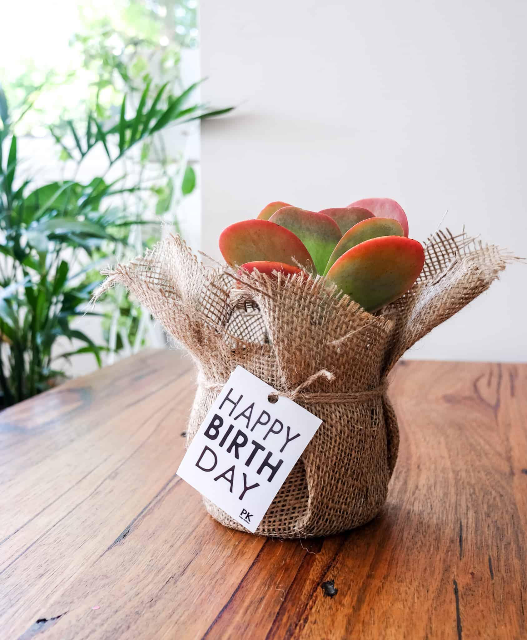 Kalanchoe luciae, Flapjack, Paddle Plant, Plant Gifts Melbourne, Pulp Kaktus