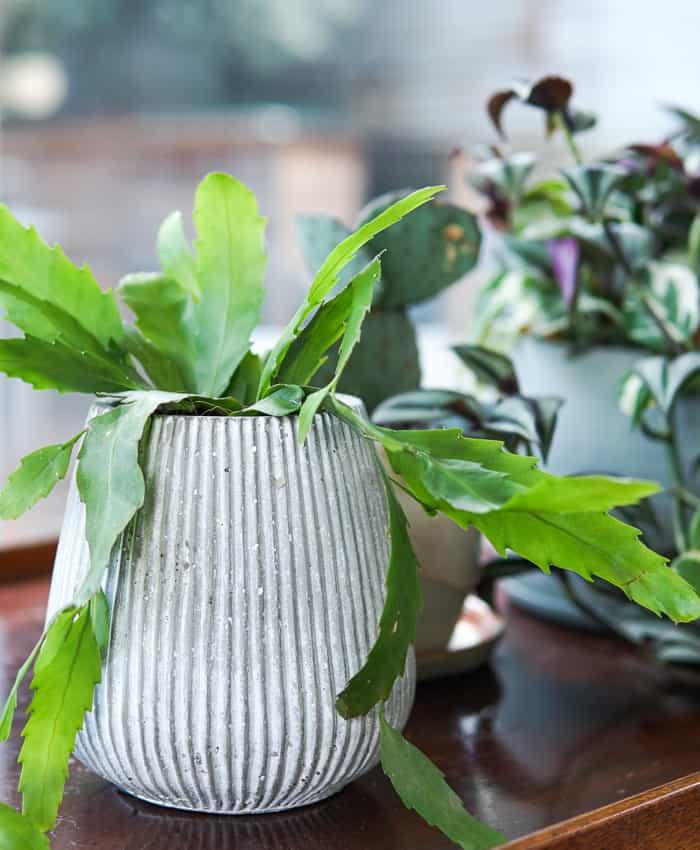 Lepismium, Hanging Basket, Trailing Plant, Pulp Kaktus, Epiphyte