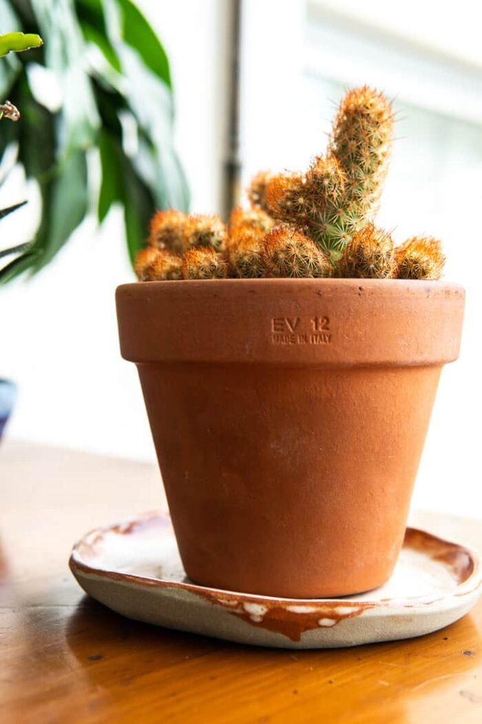 Ladyfinger cactus. Mammillaria elongata. Terracotta planter. Melbourne plant gifts. Pulp Kaktus