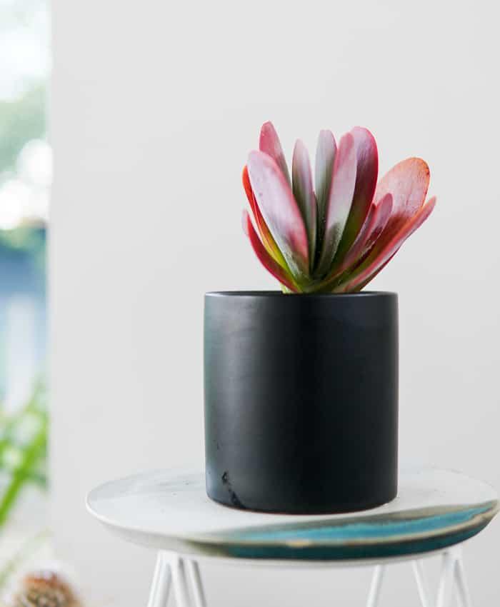 Paddle Plant, Flap Jack, Kalanchoe luciae, Plant Gifts