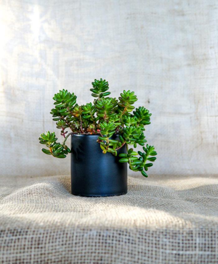 Sedum rubrotinctum, Jellybean Plant, Succulent Bonsai, Stressed Succulents, Matte Black Planter, Pulp Kaktus