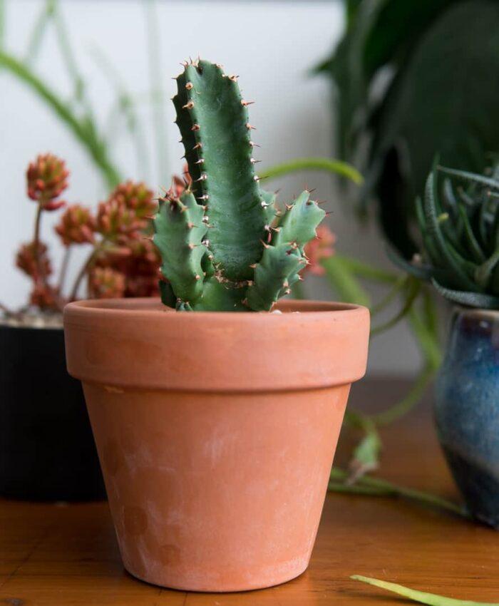Euphorbia resinifera, Euphorbia, Plant Gifts, Cactus Gift, Pulp Kaktus, Terracotta Planter