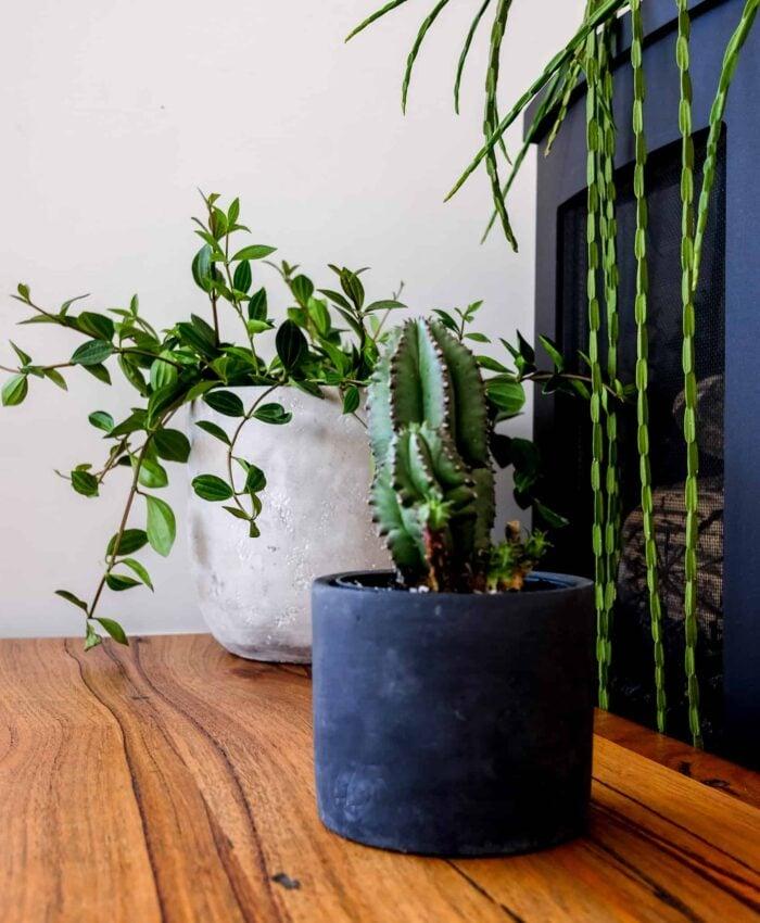 Euphorbia anoplia, Tanzanian Zipper Cactus, Pulp Kaktus, Cement Planter, Melbourne Plant Gifts