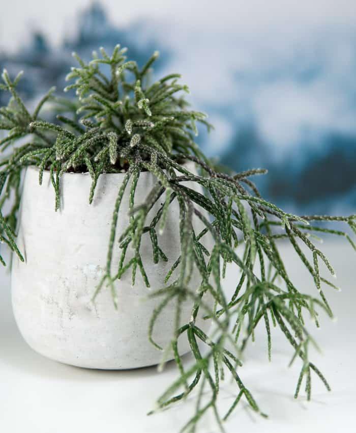 rhipsalis pilocarpa, mistletoe cactus, hairy stemmed cactus, pulp kaktus