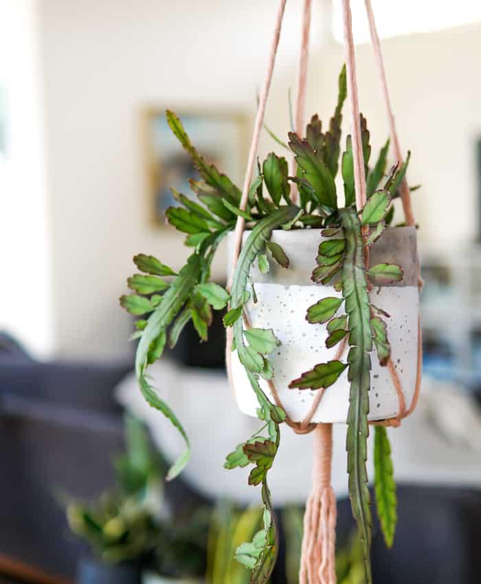 Mistletoe Cactus Hanging Basket Collection #31 Lepismium Cruciforme V Anceps