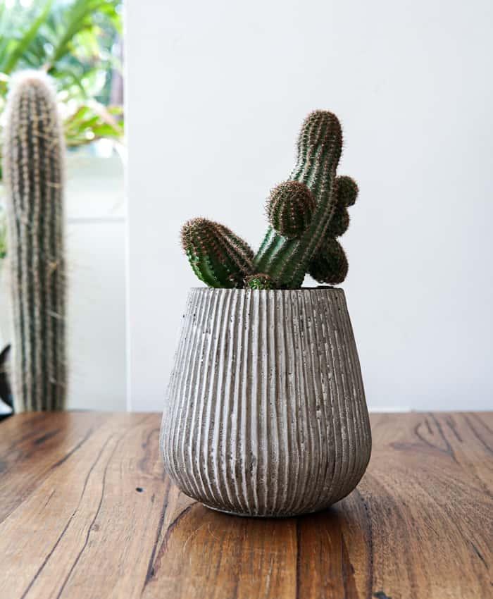 Lobivia sp. Peanut Cactus, Cacti Plant Gifts, Pulp Kaktus