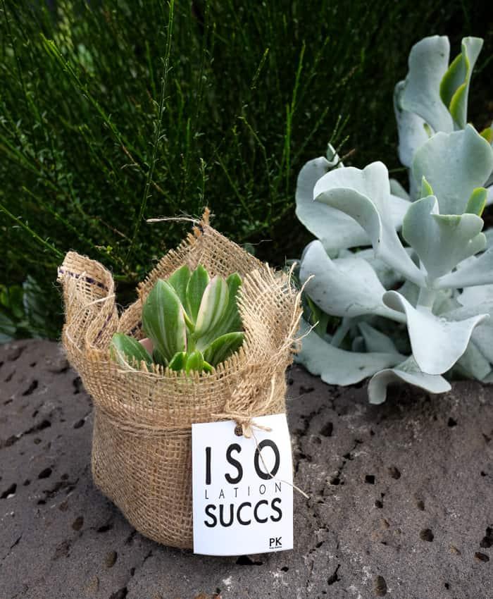 jade tricolour, isolation succs, plant gift, Pulp Kaktus