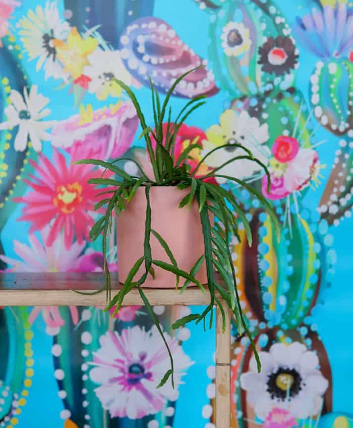 Rhipsalis boliviana, jungle cactus, Pulp Kaktus plant gifts