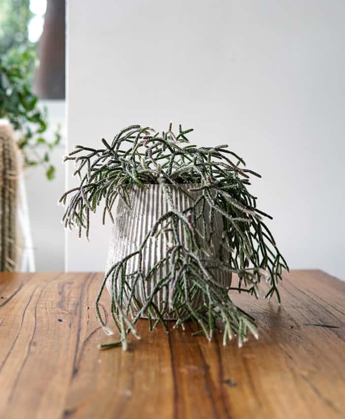 rhipsalis pilocarpa, mistletoe cactus, tapered planter, cement planter, hanging plant, trailing cactus, rhipsalis