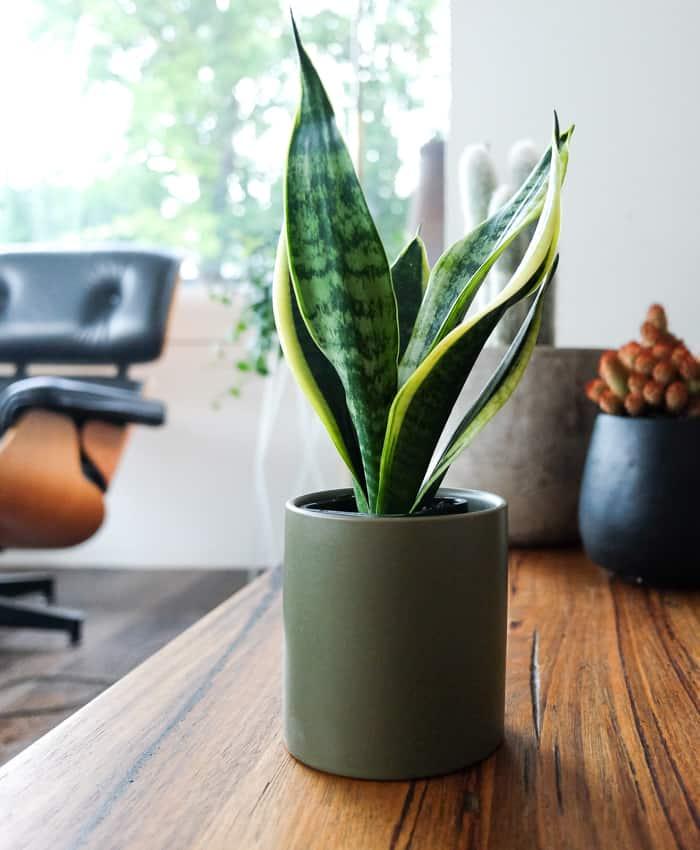 Sansevieria, Sansevieria 'Superba', Plant Gifts Melbourne, Cacti & Succulents, Pulp Kaktus