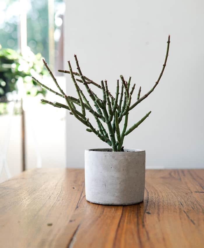 Sacrostemma, Cement Planter, Pulp Kaktus, Plant Gifts Melbourne