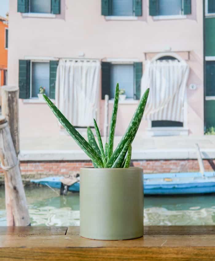 Aloe vera, Aloe barbadensis, Aloe Plant Gifts, Pulp Kaktus