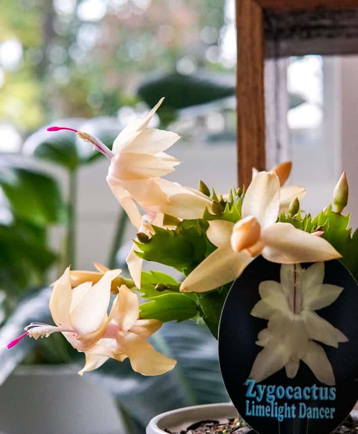 Autumn Cactus, Zygocactus, Plant Gifts, Pulp Kaktus, Limelight Dancer