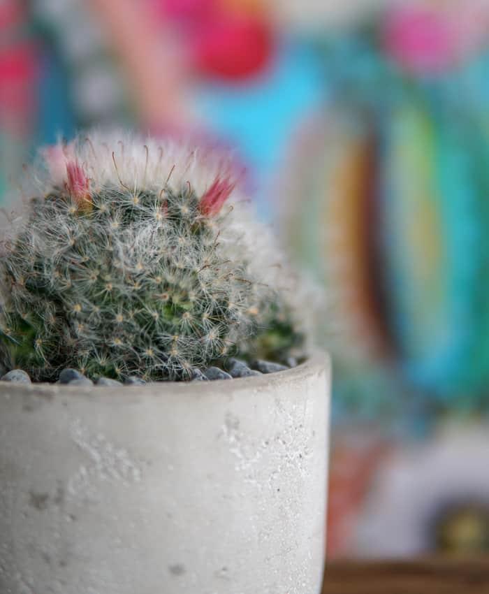 Mammillaria Bocasana, Pulp Kaktus Plant Gifts