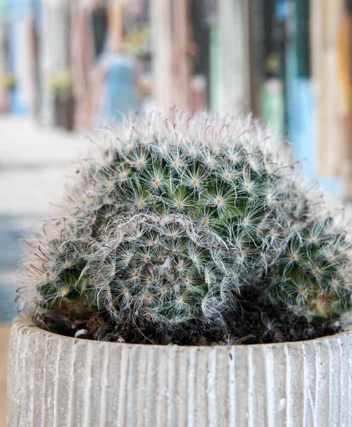 Mammillaria, Mammillaria bocasana, Powderpuff Cactus, Pin Cushion Cactus, Pulp Kaktus, Melbourne Plant Gifts
