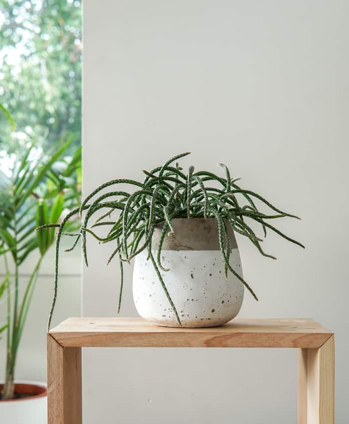 Rhipsalis horrida, Mouse tail cactus, Jungle Cactus, Plant Gifts, Pulp Kaktus