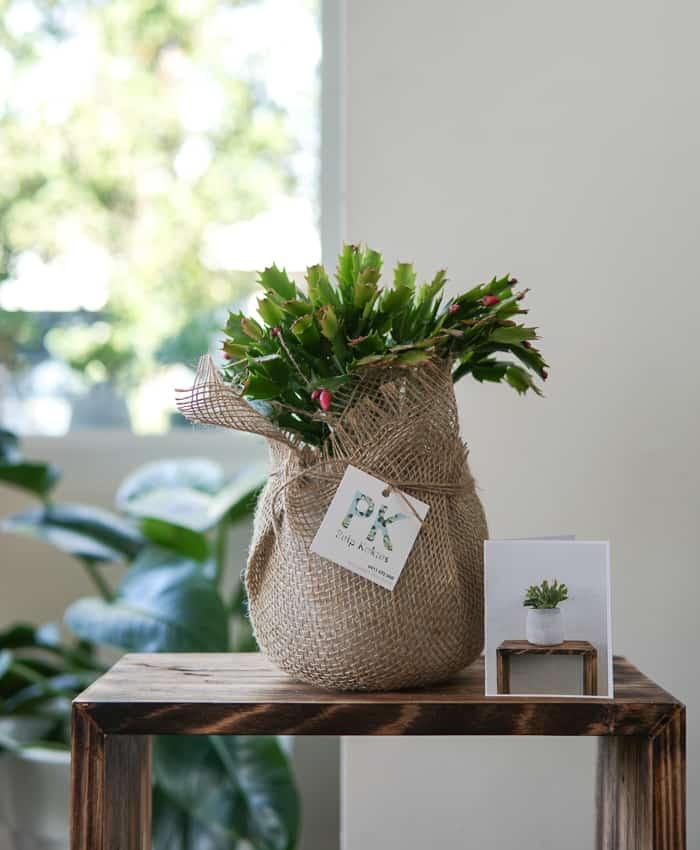 Autumn Cactus, Zygocactus, Plant Gifts, Pulp Kaktus
