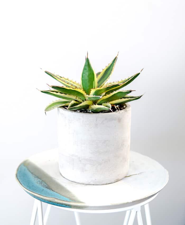 Agave lopantha 'Quadricolour', Agave Plant Gift, Outdoor Plant, Pulp Kaktus