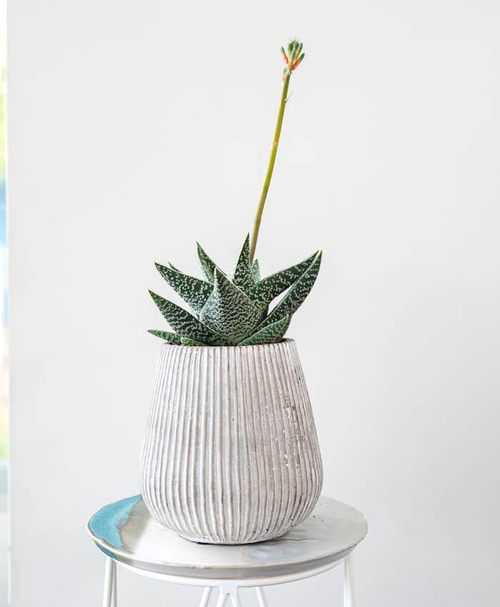 Gasteraloe, Aloe, Plant Gifts Melbourne, Pulp Kaktus