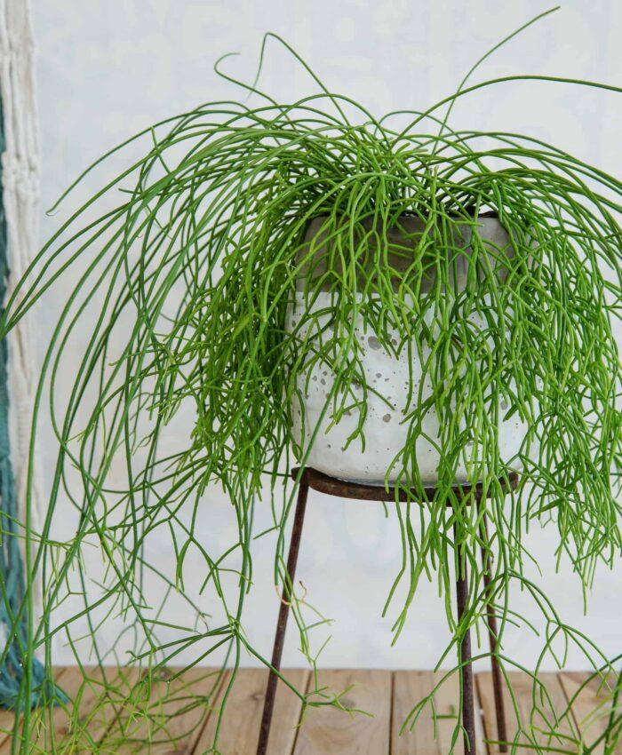 Rhipsalis-Campos_Portoana, Jungle Cactus, Mistletoe Cactus