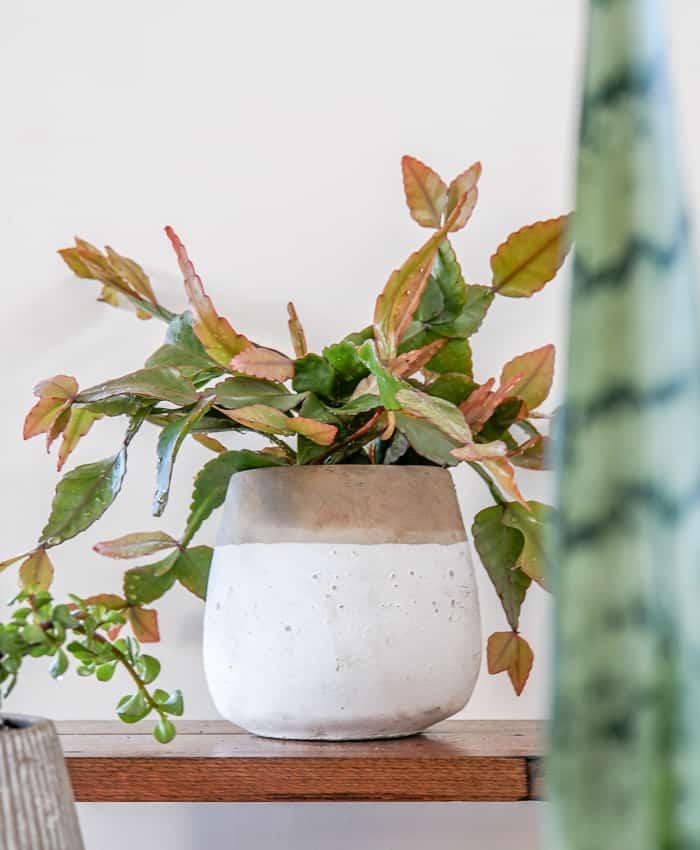 Rhipsalis elliptica, rhipsalis, nana plants, autumn colouring, hanging plants