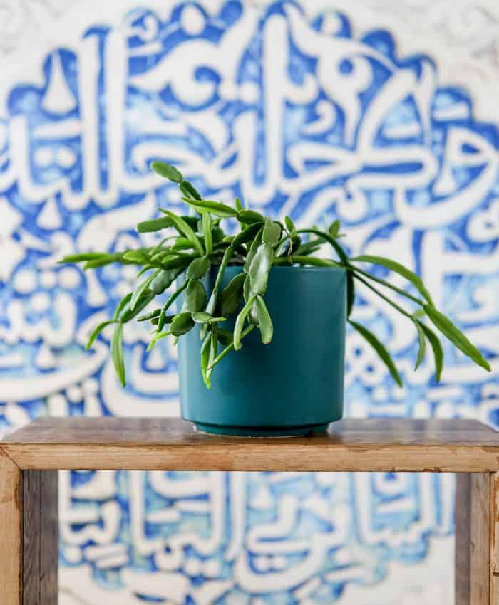 Rhipsalis micrantha, teal planter, Pulp Kaktus Plant Gifts