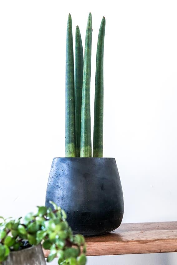 Sansevieria cylindrica, Twister Plant, Black Pot, Plant Gifts, Pulp Kaktus