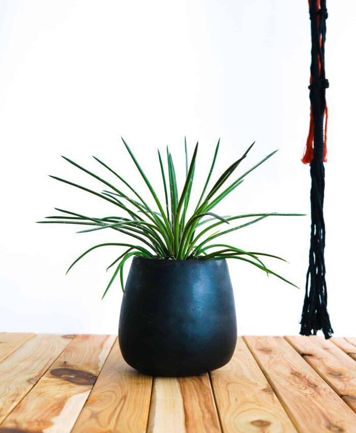 Agave geminiflora, Architectural Plants, Outdoor Plant, Pulp Kaktus, Plant Gifts Melbourne