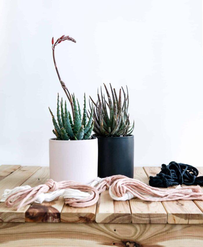 Fantasy Aloe, Aloe Hybrids, Pulp Kaktus Plant Gifts, Sculptural Plants