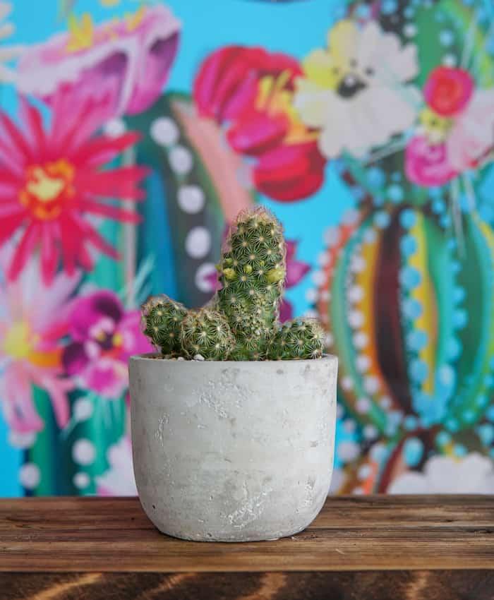 Mammillaria elongata, Golden Stars, Little Suns Cactus, Plant Gifts Melbourne, Pulp Kaktus