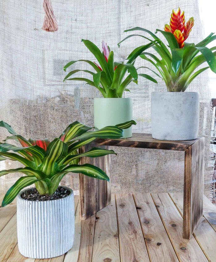 Bromeliad, Neoregelia, Tropical Plant, Jungle Plant, Plant Gifts Melbourne, Pulp Kaktus