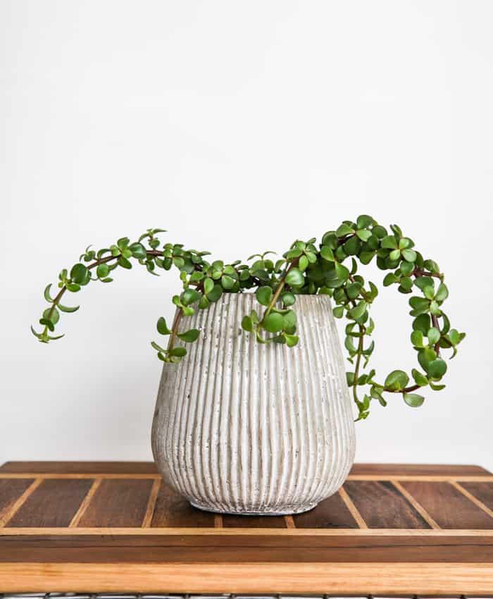 Portulacaria, Portulacaria Jade Cascade, Hanging Plant, Plant Gifts, Pulp Kaktus