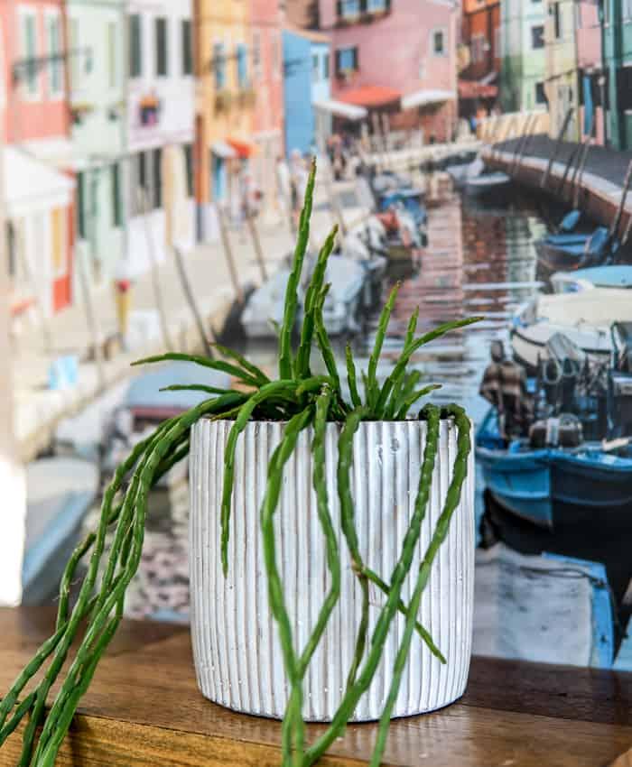 Rhipsalis pacheo-leeri, Rhipsalis, Jungle Cactus, Pulp Kaktus, Melbourne Plant Gifts