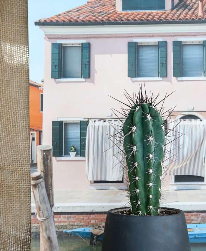 Stetsonia coryne, Advanced Cacti, Columnar Cacti, Cereus, Cacti Plant Gifts, Pulp Kaktus