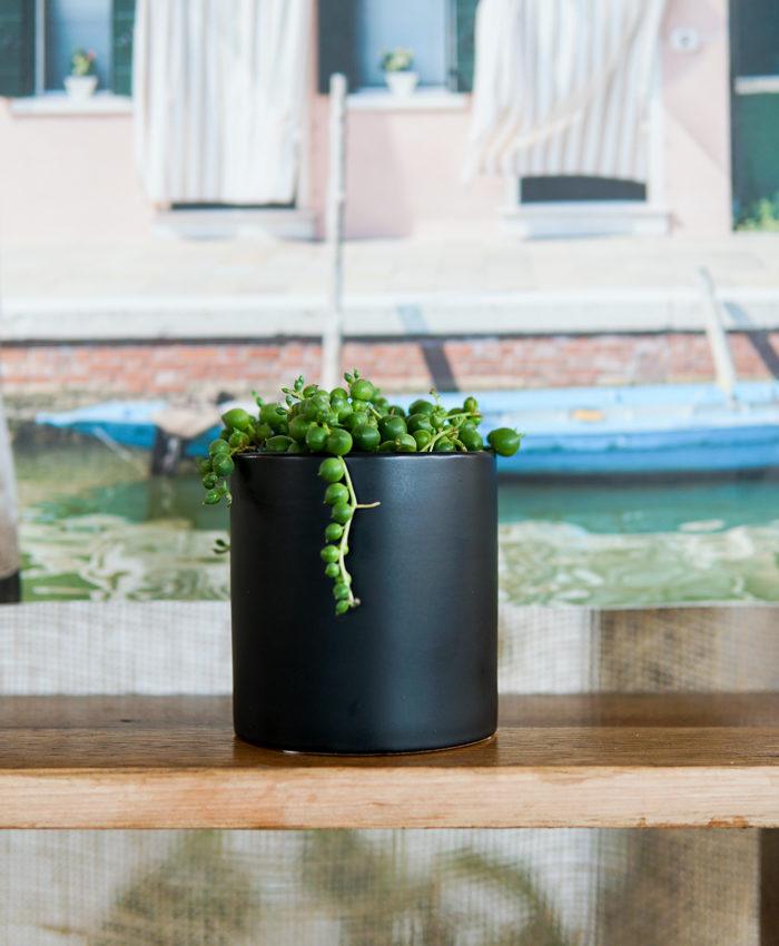 String of Pearls, Succulent Gifts, Pulp Kaktus, Curio rowleyanus