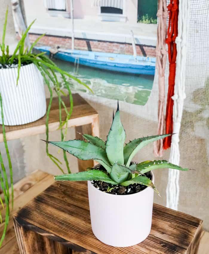 Agave titanota, Chalk Agave, Pulp Kaktus, Plant Gifts