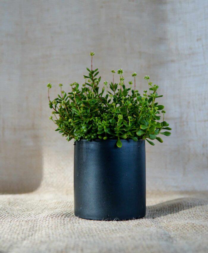 Crassula anomala, Outdoor Succulents, Pulp Kaktus