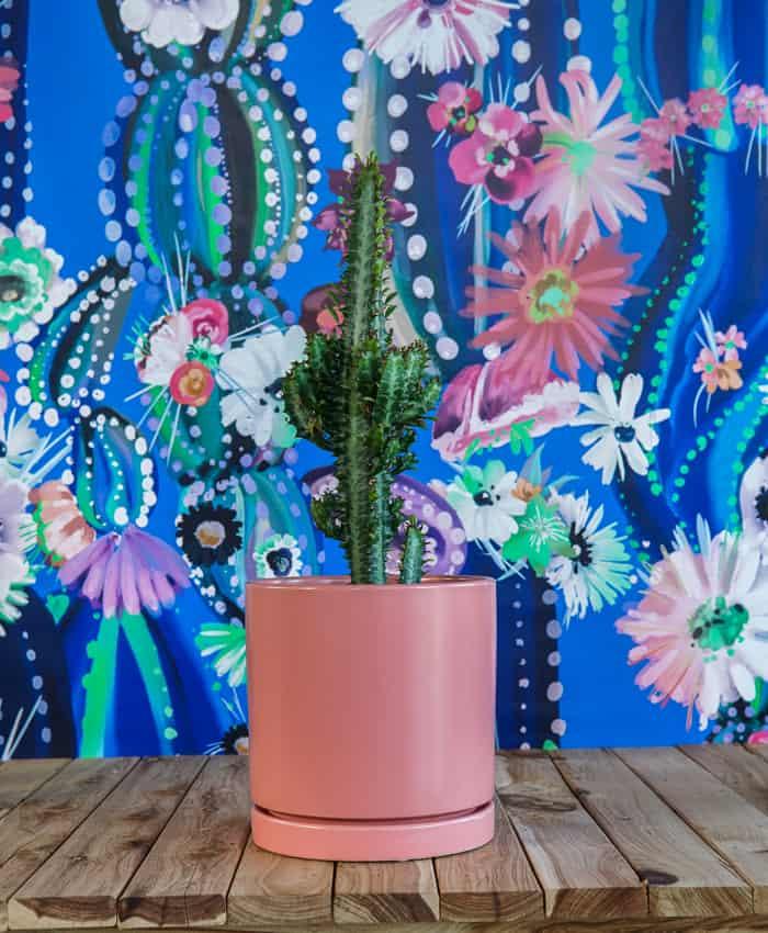 Euphorbia trigona, Cathedral Cactus, Pulp Kaktus Plant Gifts