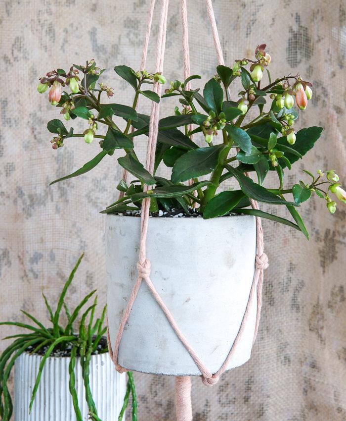 Kalanchoe Regal Bells, Spring Flowering Succulents, Pulp Kaktus, Plant Gifts Melbourne