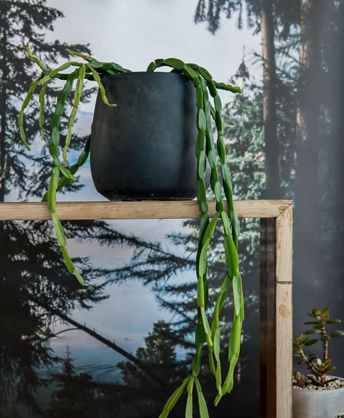Chain Cactus, Rhipsalis Paradoxa, Pulp Kaktus Plant Gifts