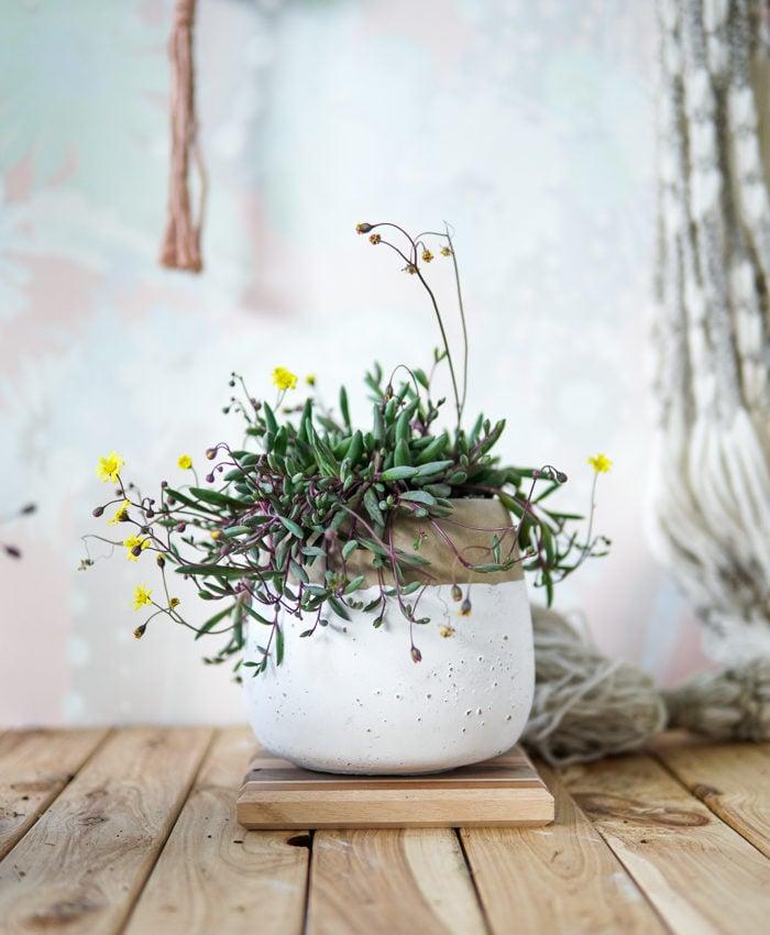 Othonna capensis, Ruby Necklace, Trailing Plant, Pink Pot, Pulp Kaktus, Melbourne Plant Gifts