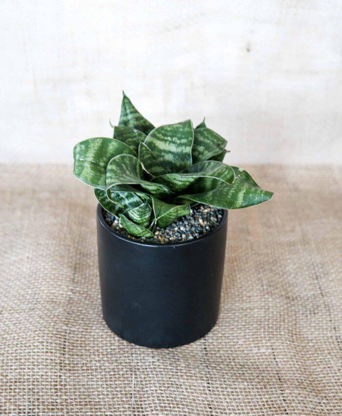 Green Hahnii, Sansevieria, Indoor Plant
