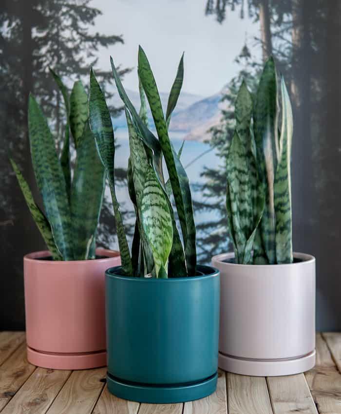 Sansevieria Bowstring Hemp, Sansevieria zeylanica, Bowstring Hemp, Pulp Kaktus