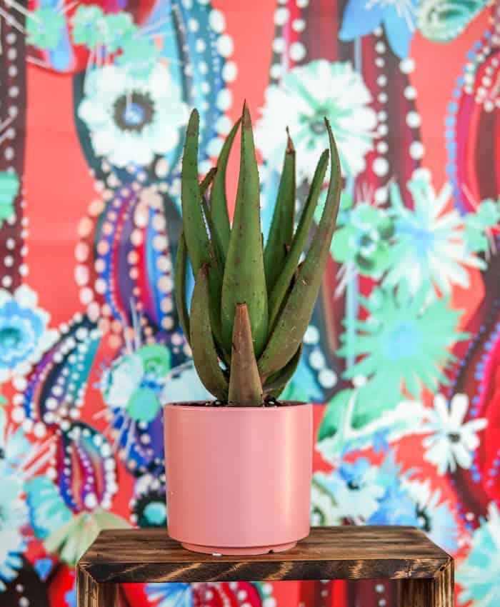 AloAloe, Aloe Plant Gifts, Pulp Kaktus